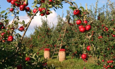 NCML to help grade apples in Kashmir, growers to get better market rates