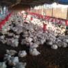 Asia's chicken farmers affected by region's worst bird flu outbreak in years