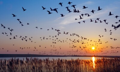 Migatory birds dying of Avian Influenza in Himachal Pradesh