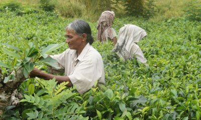 No hike in daily wages of tea plantation workers in Assam