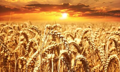 Punjab breaks previous records in wheat procurement for rabi season