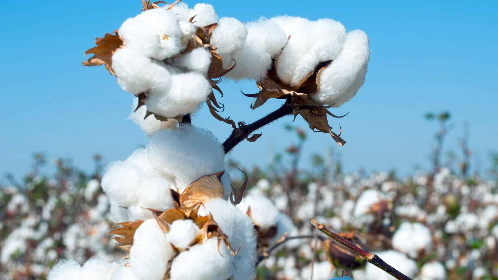 Seed industry raises flag on illegal cultivation of HT-Bt cotton, asks govt to take action