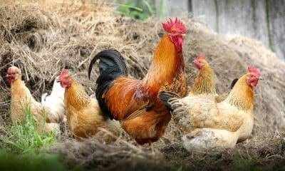 Kerala vet doc gets patent for biodiesel from chicken waste