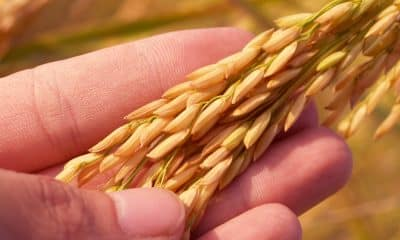 Centre expects record 150 mn tonnes kharif foodgrain output this year