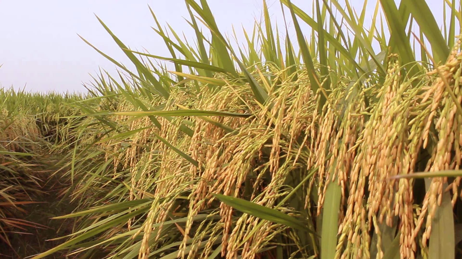 Kharif foodgrain output estimated at record 150.50 million tonne this year: Govt