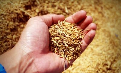Experts raise food security concerns amid India's push for ethanol production